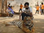 AD Singh tames full grown Tigers in tiger temple, a place on the remote outskirts of bangkok is situated in kanchanaburi on 13th May 2012 (15).jpeg