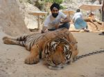 AD Singh tames full grown Tigers in tiger temple, a place on the remote outskirts of bangkok is situated in kanchanaburi on 13th May 2012 (21).jpeg