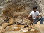 AD Singh tames full grown Tigers in tiger temple, a place on the remote outskirts of bangkok is situated in kanchanaburi on 13th May 2012 (25).jpeg